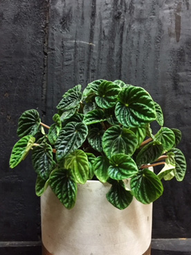 beautiful peperomia plant by fifth avenue florist