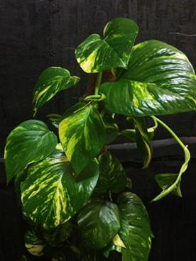 pothos plant by fifth avenue florist