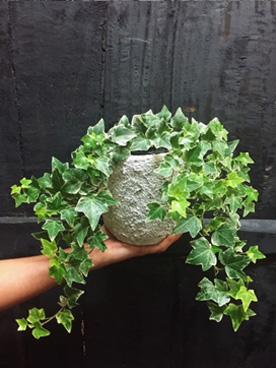 Ivy plant by fifth avenue florist australia